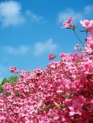 Pink azalea Stock Photos