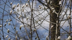 Blooming Magnolia. Mid shot. Tracking right Stock Footage