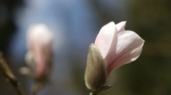 A Bud of Blooming Magnolia. Closeup. Tracking right - stock footage