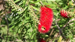 Crimson Bottlebrush Flower Stock Footage