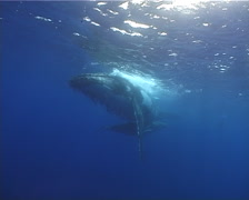 Humpback whale, Megaptera novaeangliae, UP12853 Stock Footage