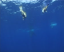Humpback whale, Megaptera novaeangliae, UP12891 Stock Footage
