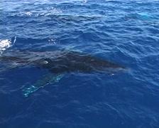 Humpback whale, Megaptera novaeangliae, UP12901 Stock Footage