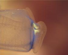 Blue club tunicate, Rhopalaea crassa, UP12932 Stock Footage