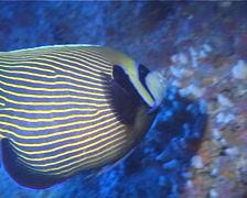 Emperor angelfish swimming, Pomacanthus imperator, UP12931 Stock Footage