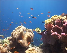 Ocean scenery hard coral garden, on shallow coral reef, UP12952 Stock Footage