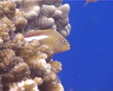 Ringeye hawkfish, Paracirrhites arcatus, UP12961 Stock Footage