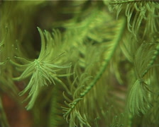 Green feather star feeding, Comanthus sp. Video 12989. Stock Footage