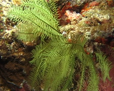 Green feather star feeding, Comanthus sp. Video 12991. Stock Footage
