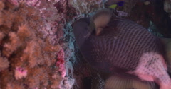 Vertical display shot of Titan triggerfish feeding on coral reef, Balistoides Stock Footage