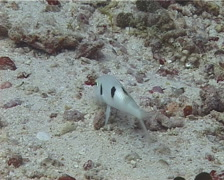 Sidespot goatfish feeding, Parupeneus pleurostigma, UP13006 Stock Footage