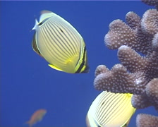 Redfin butterflyfish feeding, Chaetodon lunulatus, UP13022 Stock Footage