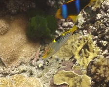 Checkerboard wrasse hunting, Halichoeres hortulanus, UP13004 Stock Footage