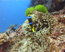 Adults and juveniles Orangefin anemonefish swimming on deep coral reef, Stock Footage