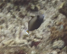 Juvenile Flagtail triggerfish swimming, Sufflamen chrysopterum, UP13026 Stock Footage