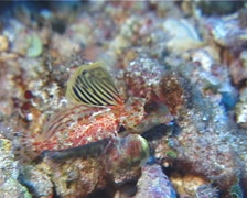 Morrison's dragonet courting, Synchiropus morrisoni, UP13035 - stock footage
