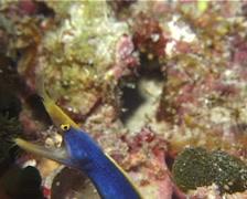Blue ribbon eel gaping, Rhinomuraena quaesita, UP13030 Stock Footage