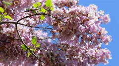 Paulownia Tomentosa Flowers Mooved By The Wind Stock Footage