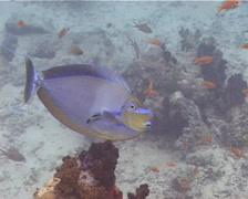 Bignose unicornfish cleaning and being cleaned, Naso vlamingii, UP13048 Stock Footage