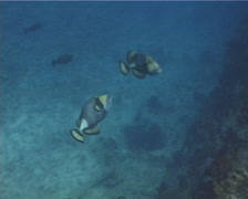 Titan triggerfish behaving strangely, Balistoides viridescens, UP13052 Stock Footage