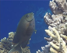 Gold-spotted rabbitfish hovering, Siganus punctatus, UP13073 Stock Footage