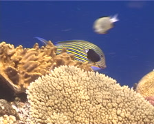 Lined surgeonfish swimming, Acanthurus lineatus, UP13076 Stock Footage