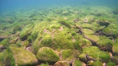 Rocky bottom overgrown with algae, Siberia, the Russian Federation, Eurasia - stock footage