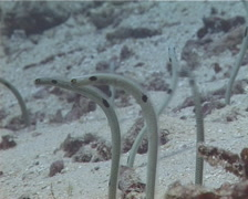 Spotted garden eel feeding on rubble, Heteroconger hassi, UP13084 Stock Footage
