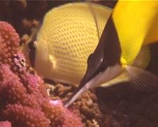 Forcepsfish feeding, Forcipiger flavissimus, UP13094 Stock Footage