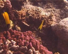 Longnose butterflyfish feeding, Forcipiger longirostris, UP13093 Stock Footage