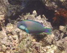 Male adult Bleekers parrotfish feeding, Chlorurus bleekeri, UP13098 Stock Footage