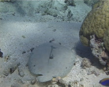Panther flounder swimming on sand and coral rubble, Bothus pantherinus, UP13102 - stock footage