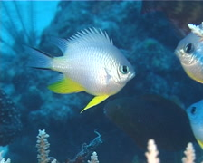 Orbicular damsel swimming and schooling, Amblyglyphidodon orbicularis, UP13113 Stock Footage