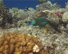 Bridled parrotfish feeding, Scarus frenatus, UP13128 Stock Footage