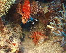 Zebra lionfish, Dendrochirus zebra, UP13140 Stock Footage