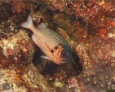 Shadowfin soldierfish hovering, Myripristis adusta, UP13229 Stock Footage