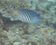 Male adult Blackspot angel swimming, Genicanthus melanospilos, UP13227 Stock Footage