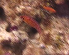 Eightstripe wrasse swimming, Pseudocheilinus octotaenia, UP13257 - stock footage