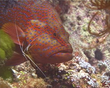 Coral cod cleaning and being cleaned, Cephalopholis miniata, UP13244 Stock Footage
