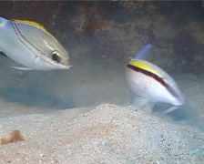 Dash dot goatfish feeding, Parupeneus barberinus, UP13279 - stock footage