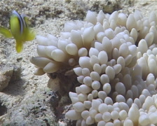 Juvenile Orangefin anemonefish swimming, Amphiprion chrysopterus, UP13284 Stock Footage