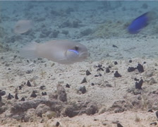 Unidentified goby hovering on sand and coral rubble, Valenciennea sp. Video - stock footage