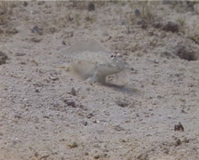 Orangespotted goby feeding on sand, Istigobius rigilius, UP13362 Stock Footage