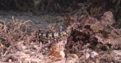 Reef lizardfish courting on coral reef at night, Synodus variegatus, 4K UltraHD, Stock Footage