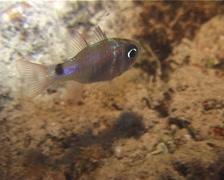 Multi-barred cardinalfish feeding on silty inshore reef at night, Nectamia Stock Footage
