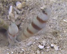 Steinitzs shrimpgoby, Amblyeleotris steinitzi, UP13381 Stock Footage