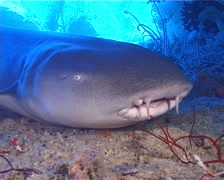 Tawny nurse shark breathing, Nebrius ferrugineus, UP13364 Stock Footage