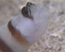 Steinitzs shrimpgoby, Amblyeleotris steinitzi, UP13382 Stock Footage