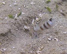 Steinitzs shrimpgoby retreating, Amblyeleotris steinitzi, UP13386 Stock Footage