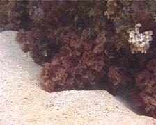Red algae photosynthesising, Zellera tawallina, UP13390 Stock Footage